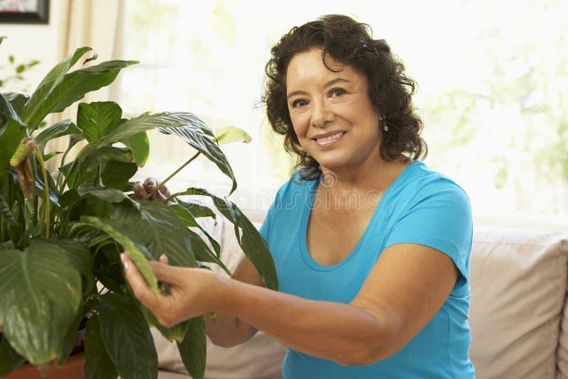 Ältere Frau zu Hause, die um Houseplant sich kümmert stockbilder