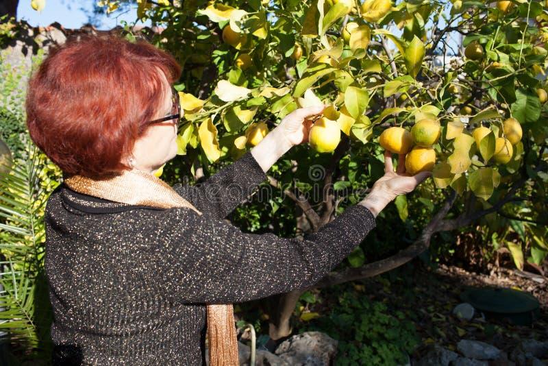 Ältere Frauen-Sammeln-Zitrone stockbild
