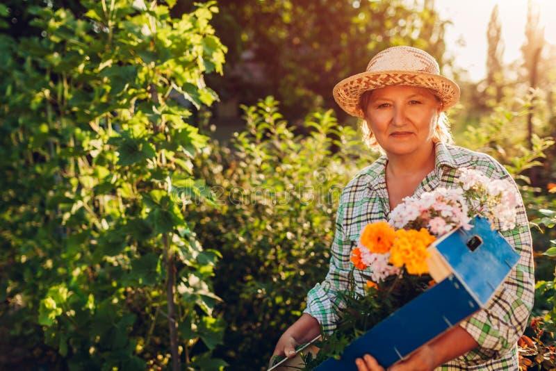 Ältere Frauenholding erfasste Blumen im Kasten im Garten Ältere Frau im Ruhestand, die draußen Hobby genießt lizenzfreies stockbild