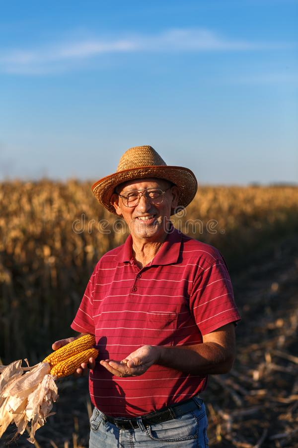 Ältere Landwirtstellung in der Maisfeld- und -untersuchungsernte lizenzfreie stockfotografie