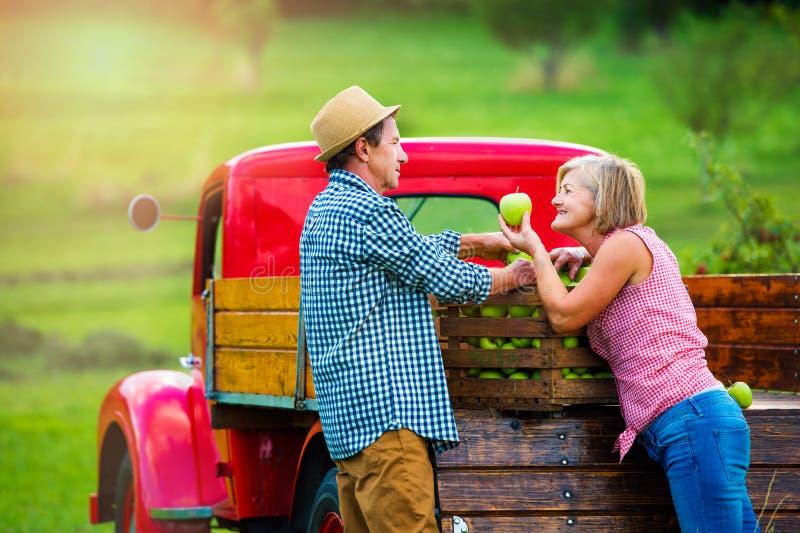 Ältere Paare, welche die Äpfel, stehend am Weinleserotauto ernten lizenzfreie stockbilder