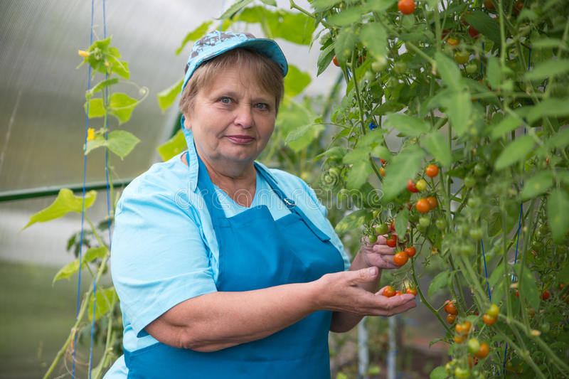 Ältere Pensionärfrau, die im Gewächshaus mit Tomate im Garten arbeitet lizenzfreie stockbilder