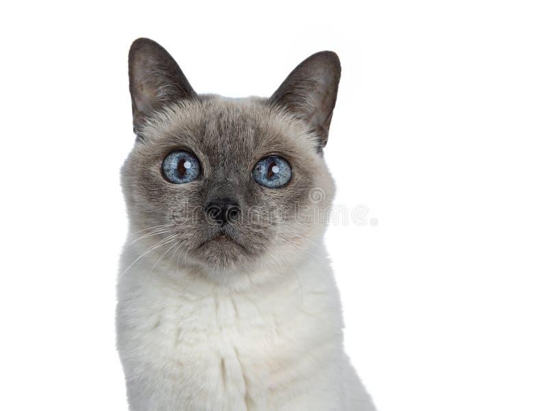 Ältere thailändische Katze des blauen Punktes, lokalisiert auf weißem Hintergrund lizenzfreie stockfotos