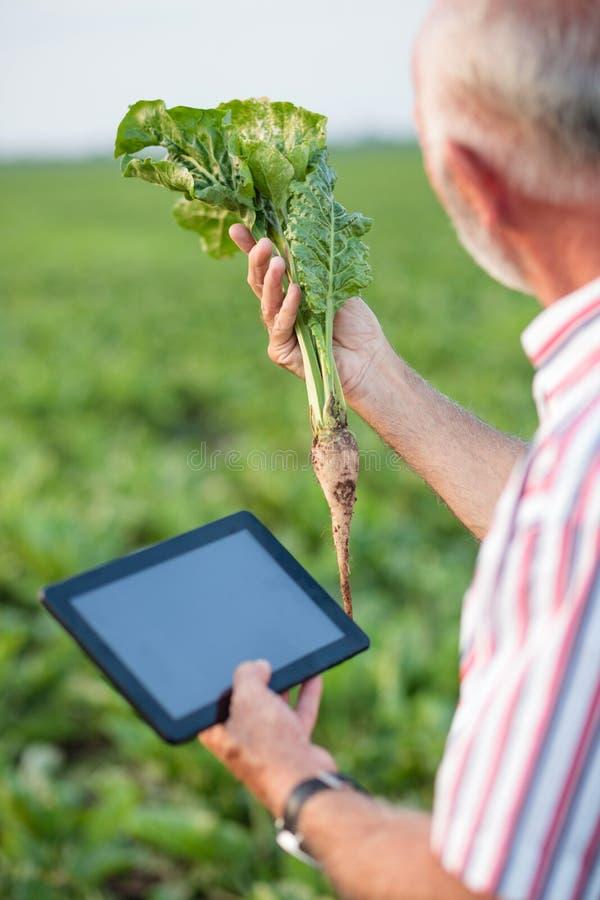 Älterer Agronom oder Landwirt, die junge Zuckerrübenfabrik auf dem Gebiet überprüfen stockbilder