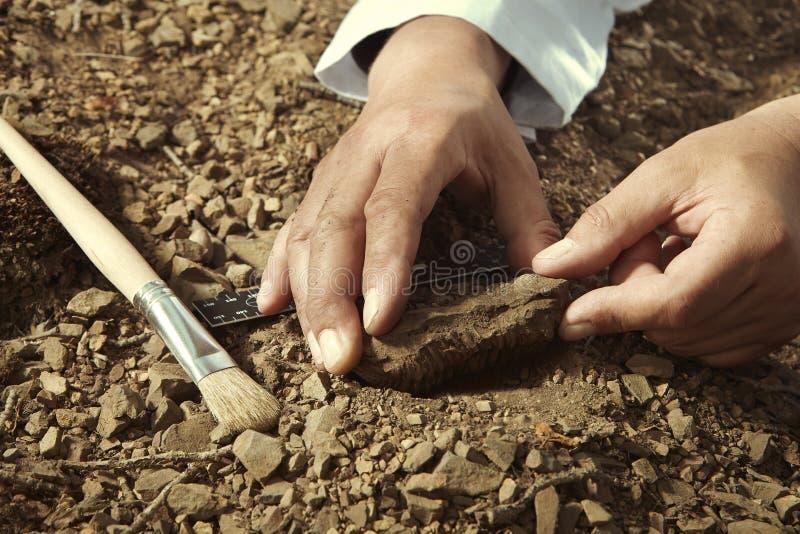 Älterer Forscher heben trilobite Fossil auf felsigem Standort auf stockfotografie