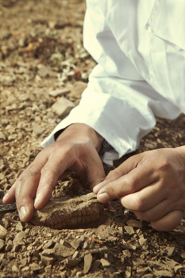 Älterer Forscher heben trilobite Fossil auf felsigem Standort auf lizenzfreie stockfotos
