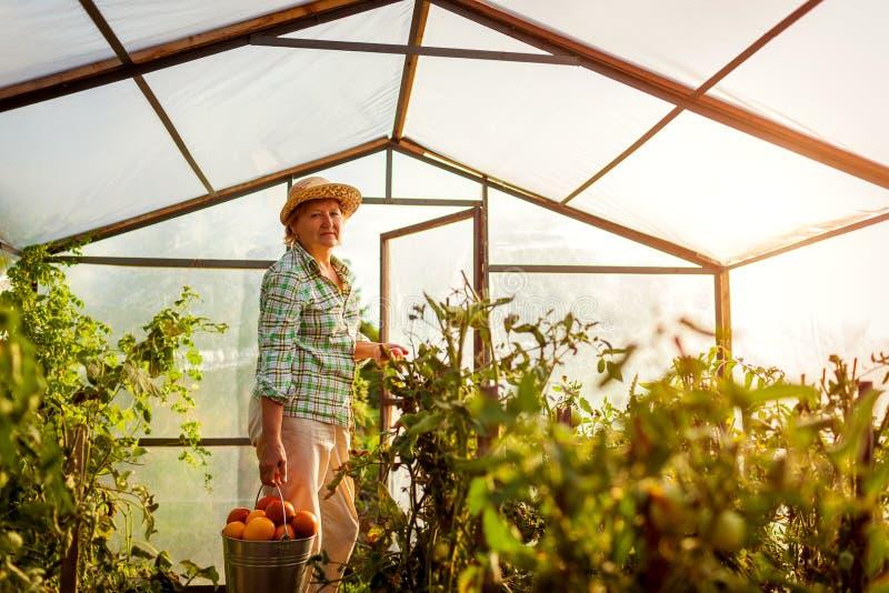 Älterer Frauenlandwirt, der Ernte von Tomaten am Gewächshaus auf Bauernhof erfasst Landwirtschaft, Gartenarbeitkonzept lizenzfreies stockbild