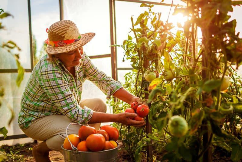 Älterer Frauenlandwirt, der Ernte von Tomaten am Gewächshaus auf Bauernhof erfasst Landwirtschaft, Gartenarbeitkonzept stockfotos