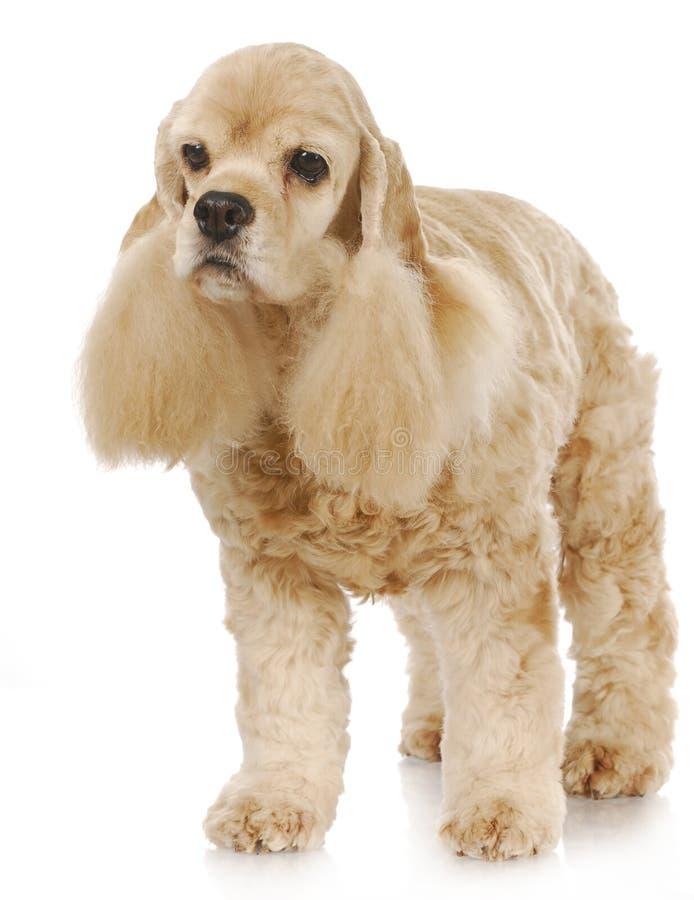 Älterer Hund stockfotos