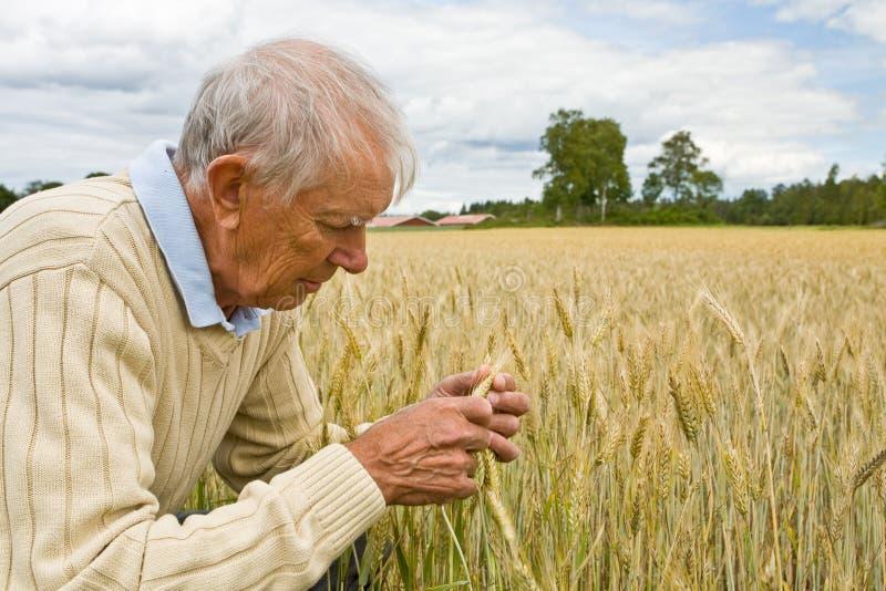 Älterer Landwirt auf einem Gebiet stockfotos