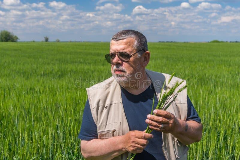 Älterer Landwirt, der inneres unausgereiftes Erntefeld steht und einige Ährchen nimmt stockfotografie