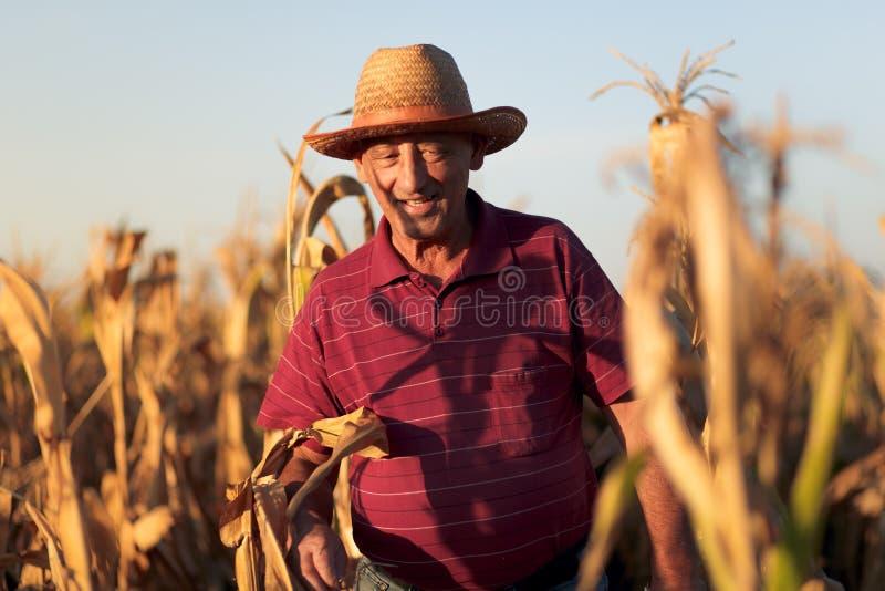 Älterer Landwirt, der in Maisfeld- und -untersuchungsernte geht stockfotografie