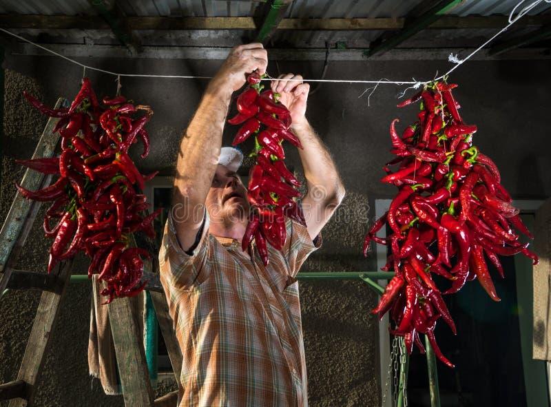 Älterer Landwirt, der roten Pfeffer hängt stockfotos