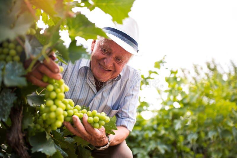 Älterer Mann, der die Qualität von Trauben überprüft lizenzfreies stockfoto
