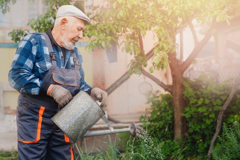 Älterer Mann gießt Gießkanne im Gemüsegarten der Anlage Konzeptbauernhof lizenzfreie stockfotografie