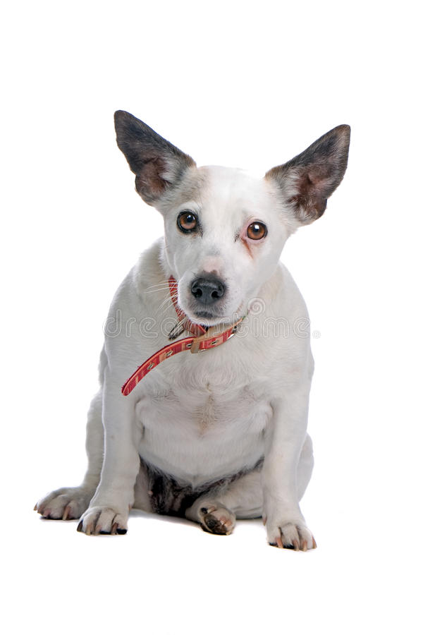 Älterer Terrier Jack-Russell stockfotografie
