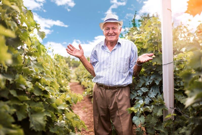 Älterer Weinhersteller, der die Qualität von Trauben überprüft stockfotos