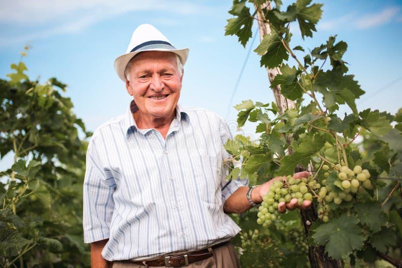 Älterer Weinhersteller, der die Qualität von Trauben überprüft stockfoto