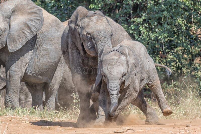 Älteres afrikanisches Elefantenkalb, das seine jüngeren Geschwister einschüchtert stockfotografie