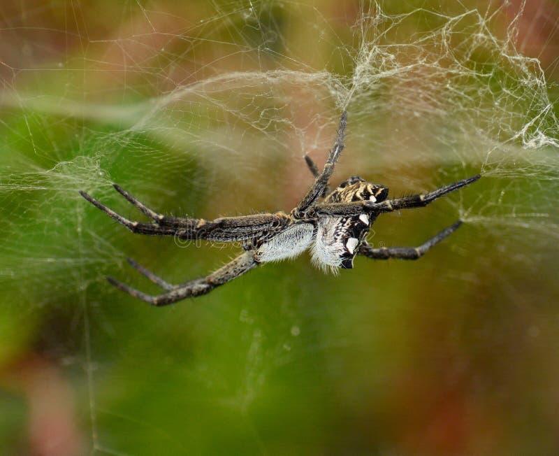 Ämne för spindelcyrtophoracitricola till dess spindelnät royaltyfri fotografi