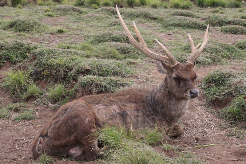 Ändå en hjort royaltyfri fotografi