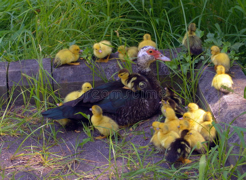 Download änder fotografering för bildbyråer. Bild av fjädrar, djurliv - 240689