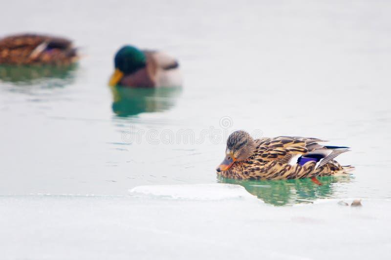 Änder i den iskalla sjön fotografering för bildbyråer