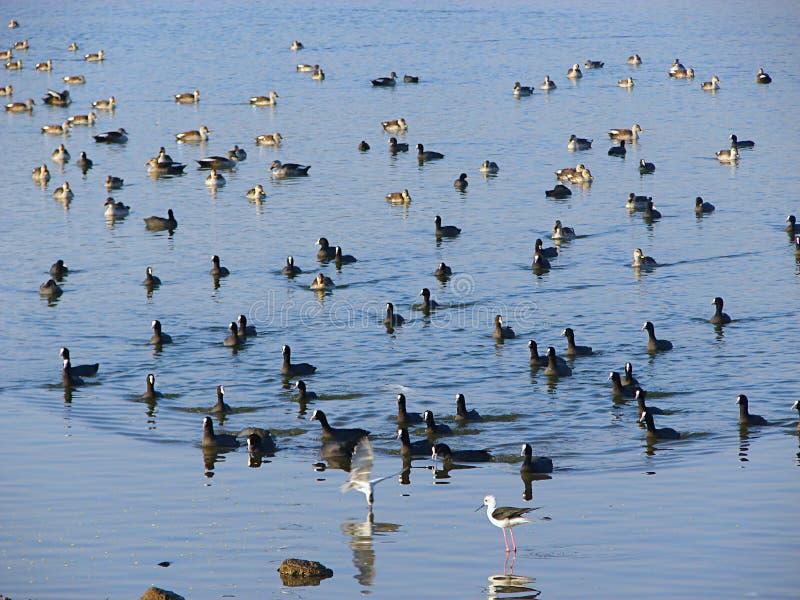 Änder och krickor på Randarda sjön, Rajkot, Gujarat arkivfoton
