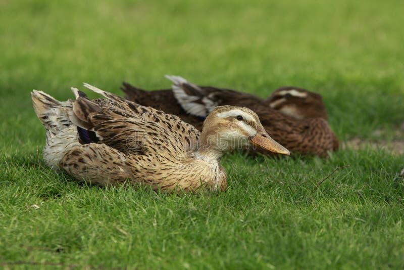 Änder på gräset royaltyfri foto