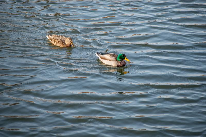 Änder simmar i dammet i hösten parkerar arkivfoto