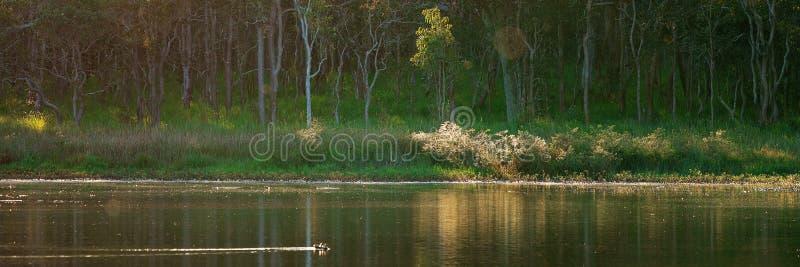 Änder som fridfullt simmar på ett damm med en Forest Background arkivfoton