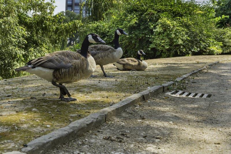 Änder som omkring irrar i Ständehauspark, Dusseldorf, Tyskland royaltyfri bild