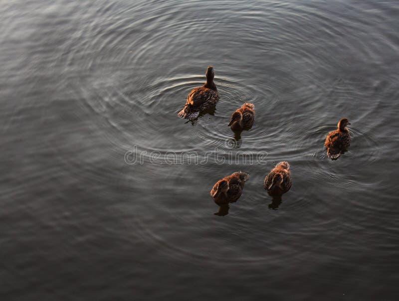 Änder som simmar i en nordlig sjö royaltyfria foton