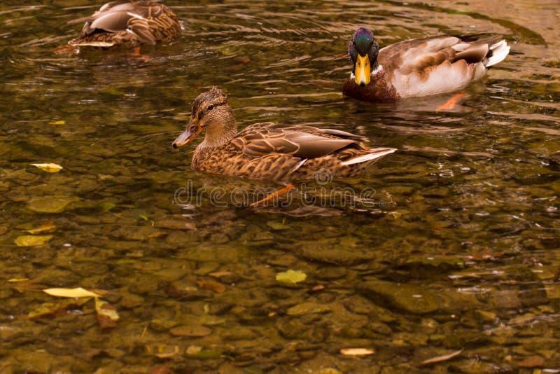 Änder som simmar i höstdammet royaltyfri fotografi