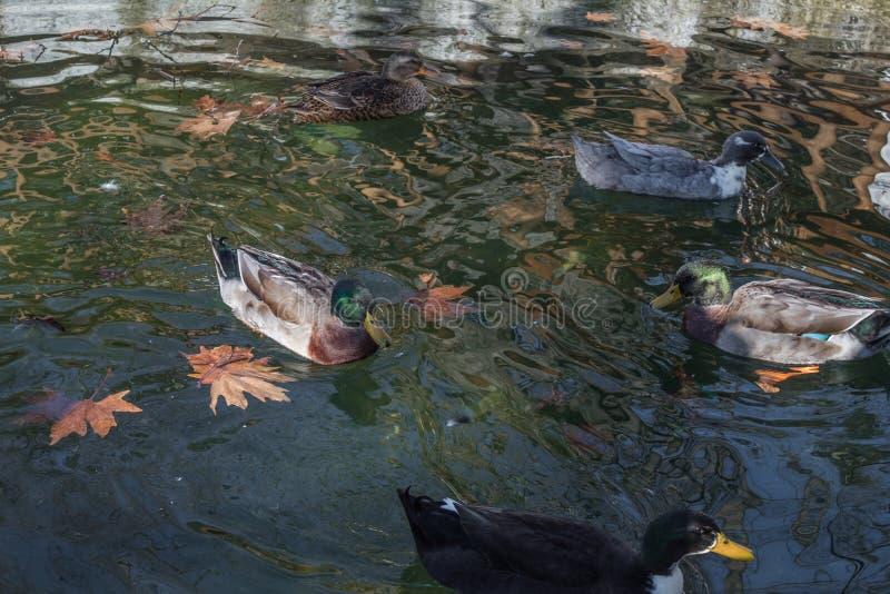 Änder som simmar i stupade sidor för kallt klart vatten royaltyfri foto