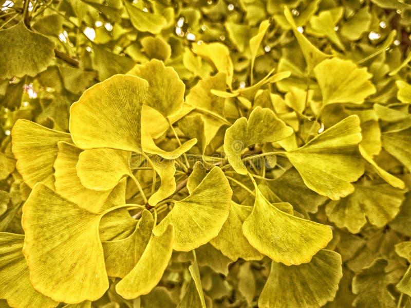 Ändrar guld- ginkgosidor för höst för att gulna i nedgång för lövverkillustration för bakgrund härlig vektor arkivfoto