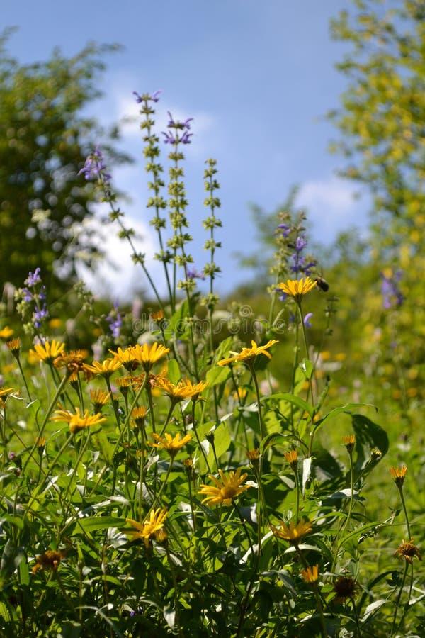 Äng av gula lösa tusenskönablommor i skogen fotografering för bildbyråer