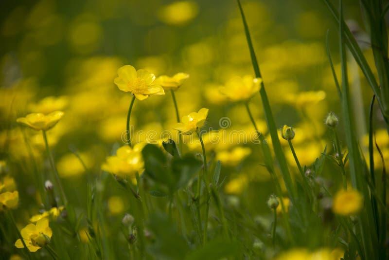 Äng av gula smörkoppblommor royaltyfria foton
