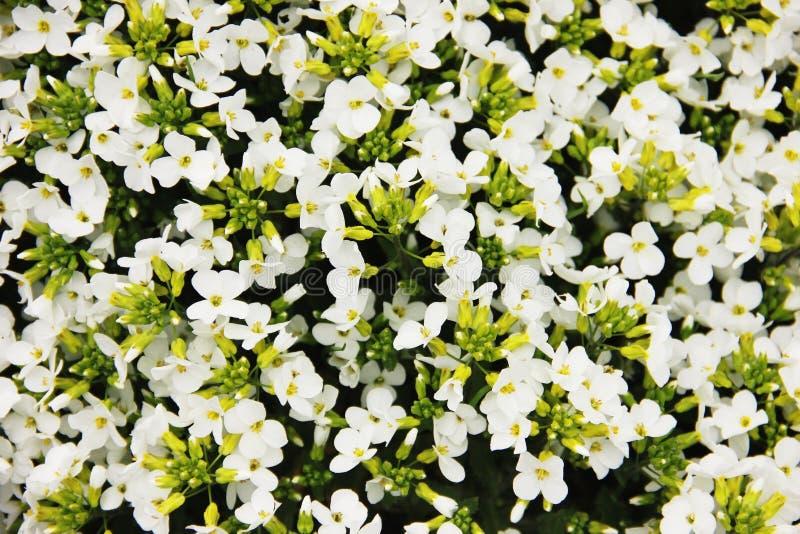 Äng för vita blommor för Arabiscaucasica fotografering för bildbyråer