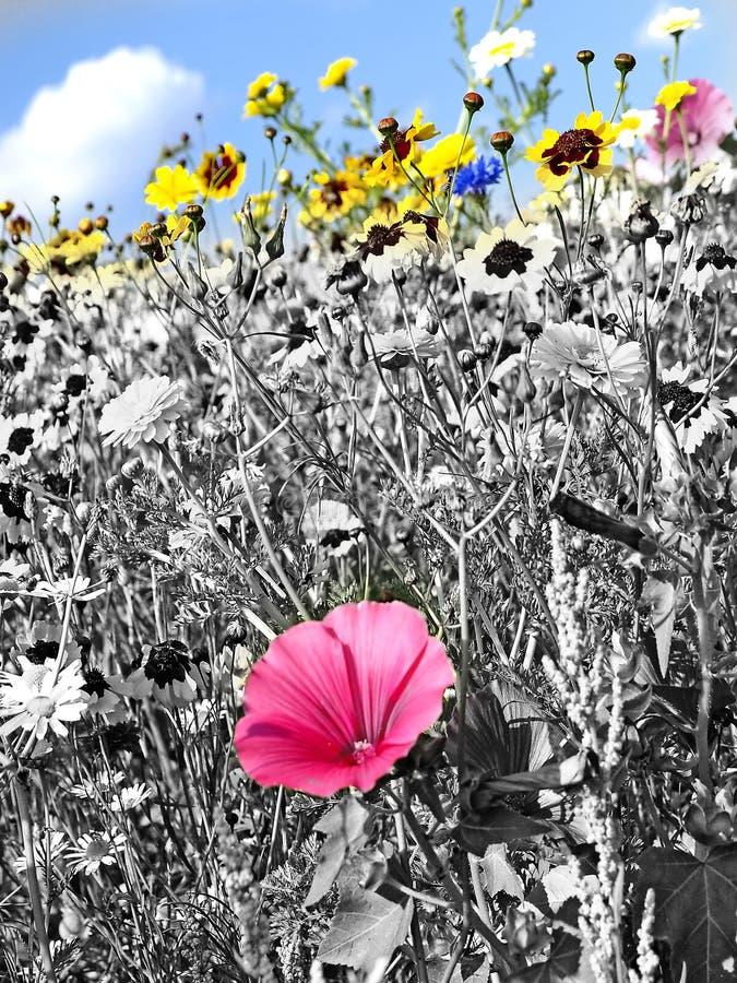 Äng med mycket kulöra blommor royaltyfri bild