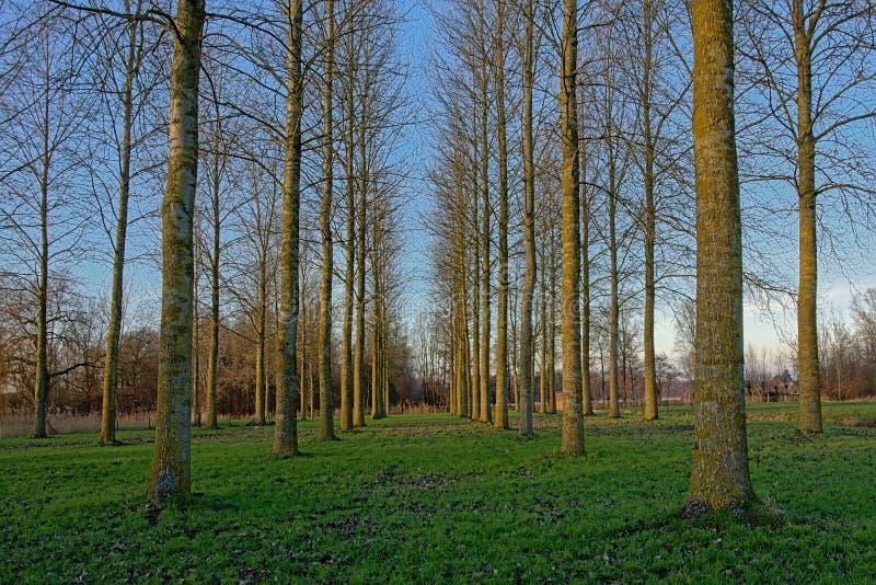 Äng med rader av asp- träd i den flemish bygden royaltyfri foto