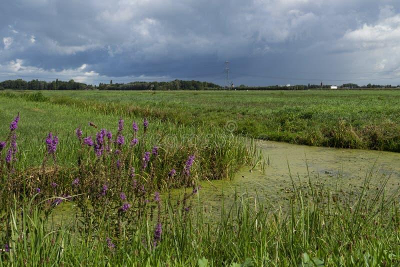 Äng och grönt dike i Alblasserwaard, Nederländerna royaltyfri fotografi