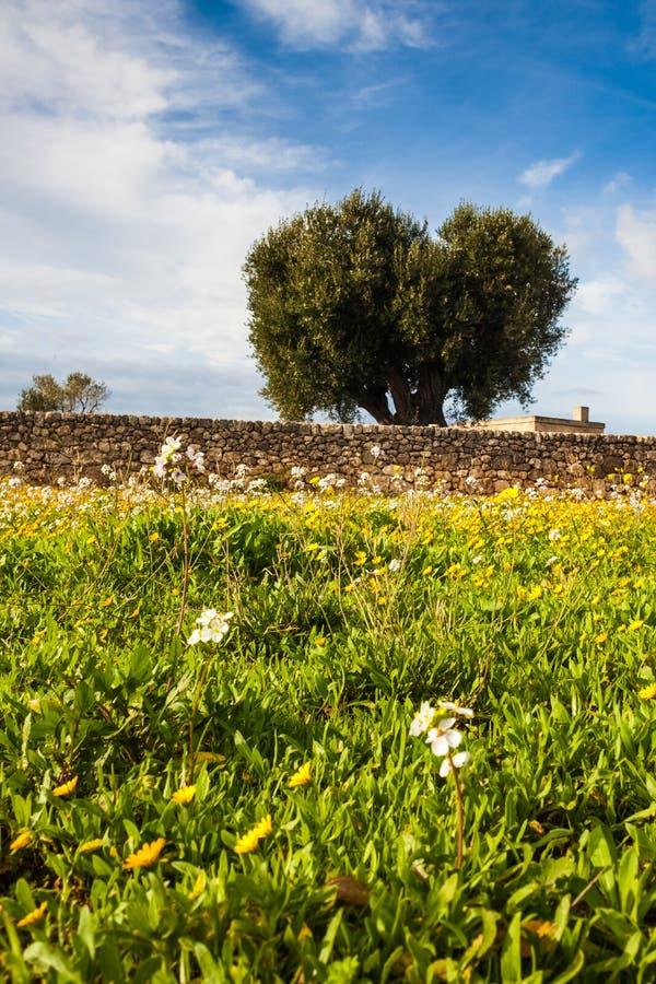 Äng och olivträd arkivbilder