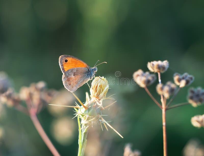 Ängbruntfjäril, Maniola jurtina, i naturlig livsmiljö Bakbelyst vid aftonsolen royaltyfria bilder