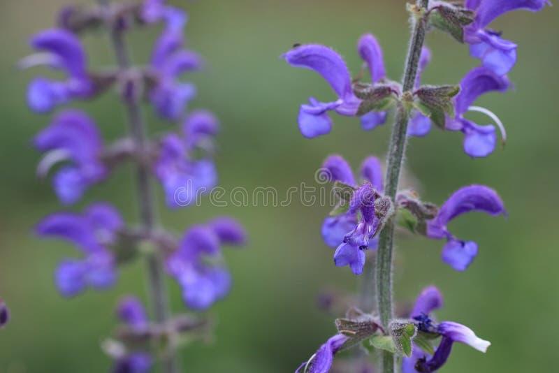 Ängclary eller vis blomma för äng arkivfoto