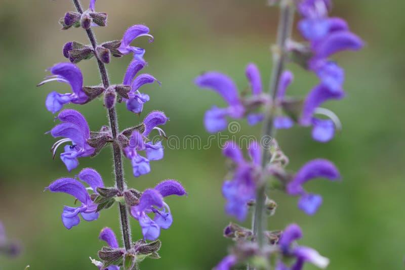 Ängclary eller vis blomma för äng arkivfoton