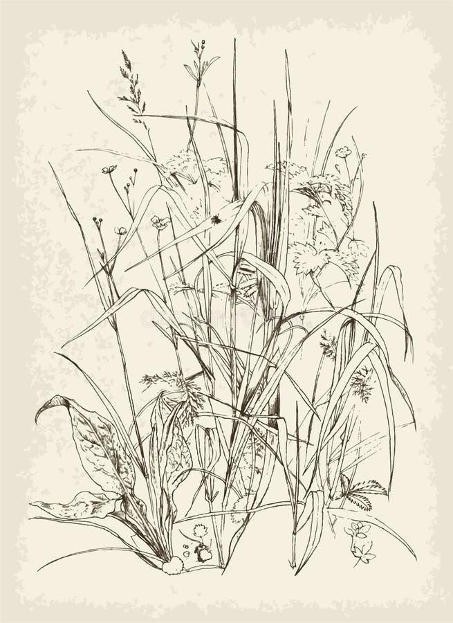 Änggräs royaltyfri illustrationer