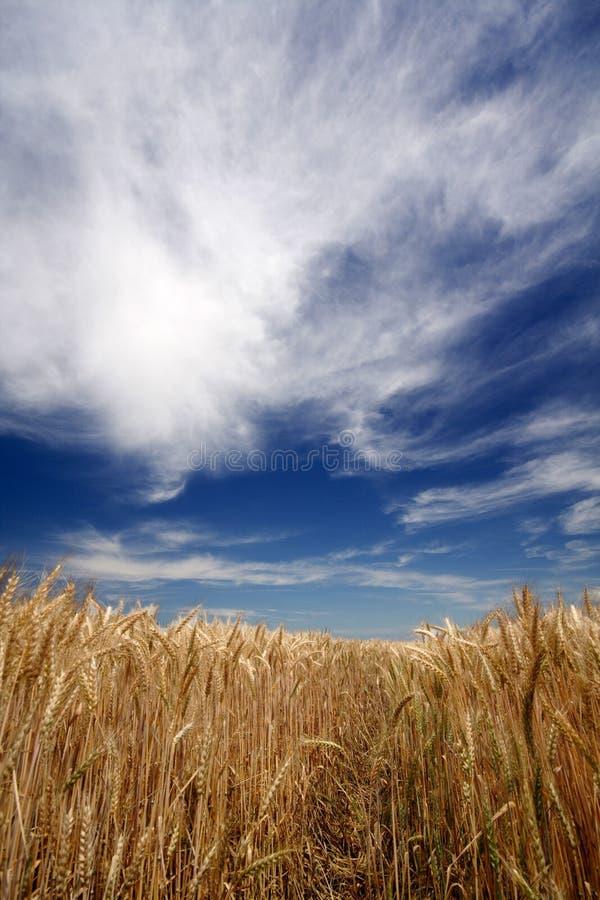 Download ängvete arkivfoto. Bild av färgglatt, soligt, liggande - 3528126