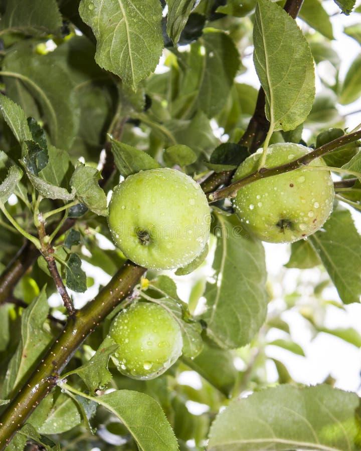 Download Äpfel auf Baum stockfoto. Bild von bauernhof, frech, garten - 26361640