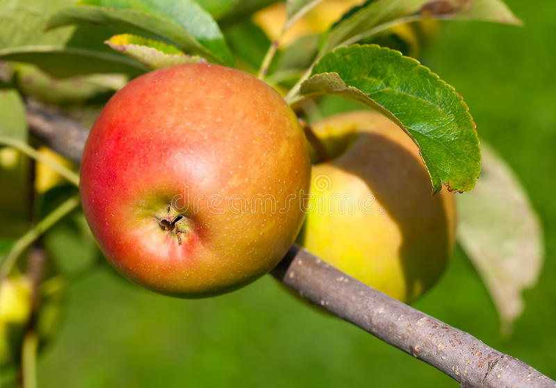 Äpfel auf Baum lizenzfreie stockbilder